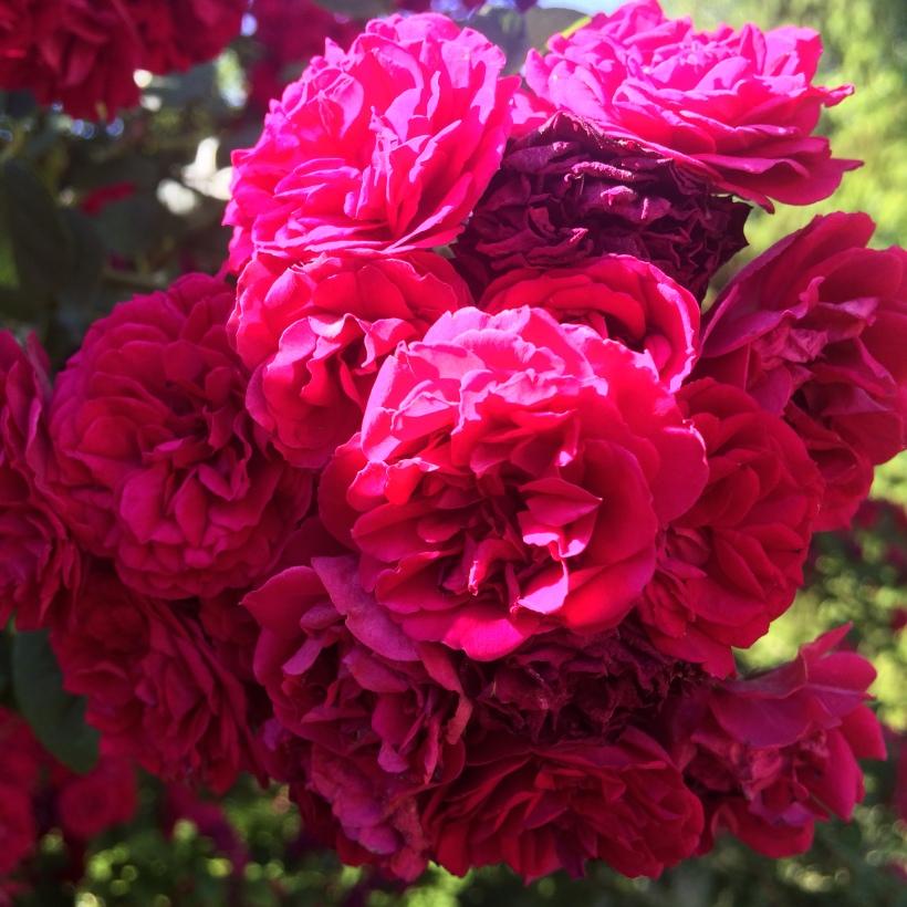 roses_june2017_01